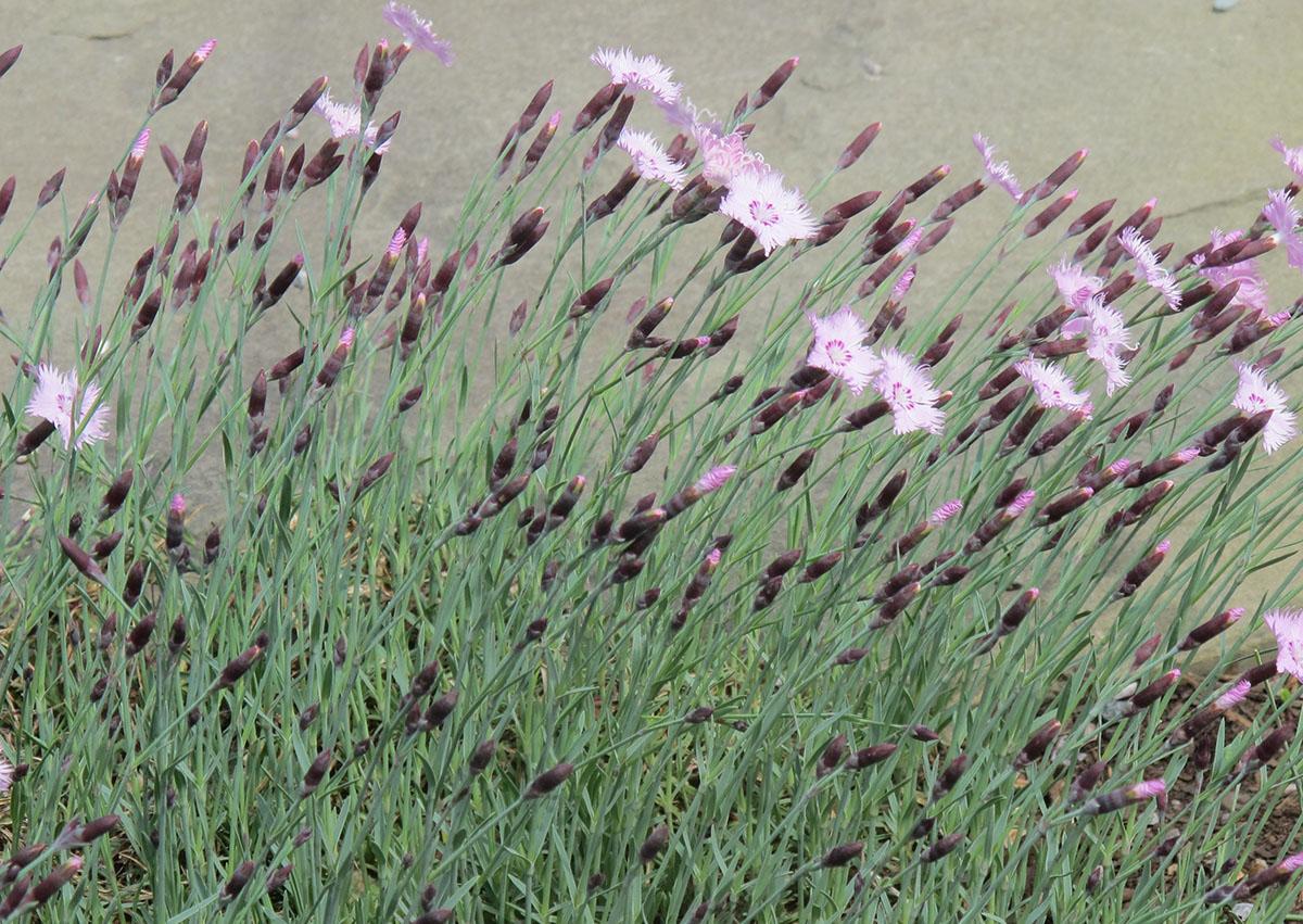 Dianthus Bath's Pink 14