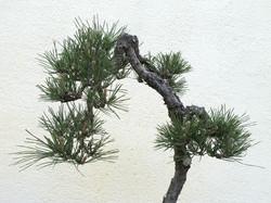 Pinus thunbergii 28