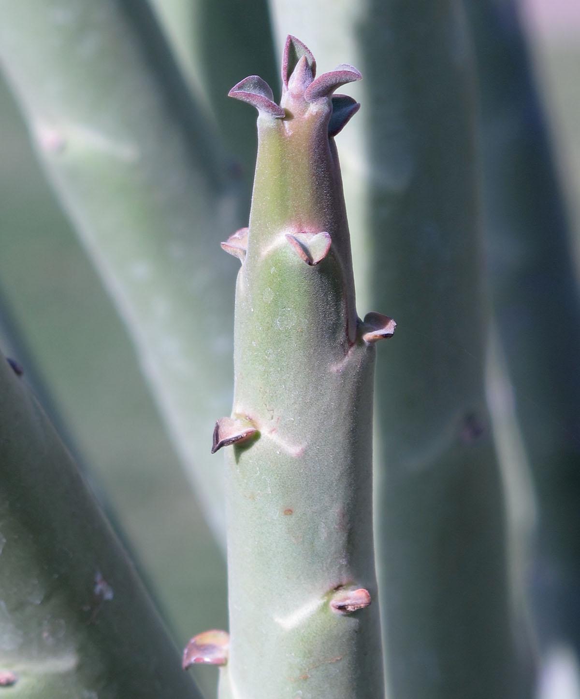 Euphorbia gregaria 17