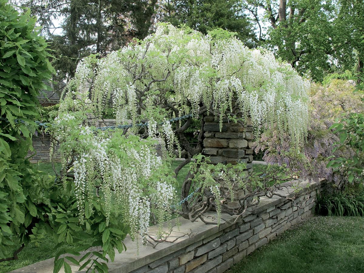 Wisteria floribunda White 4
