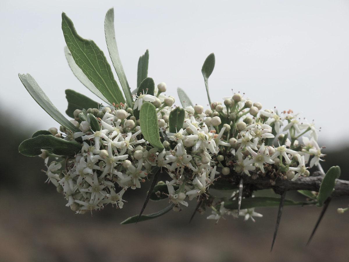 Gymnosporia buxifolia 54