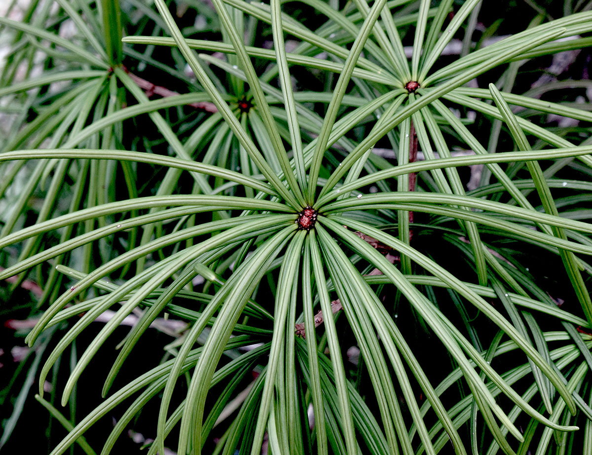 Sciadopytis verticillata 6