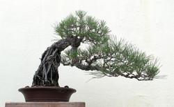 Pinus thunbergii 30