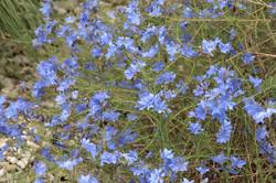 Leschenaultia biloba 4