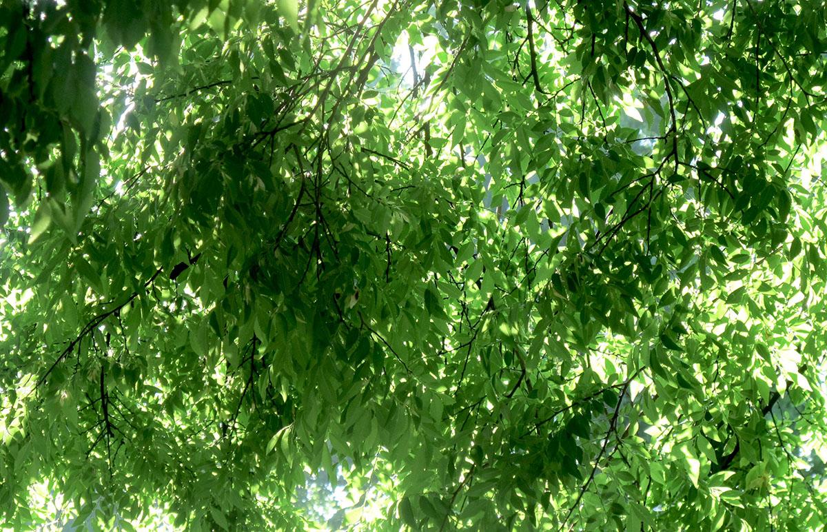 Ulmus parvifolia 49