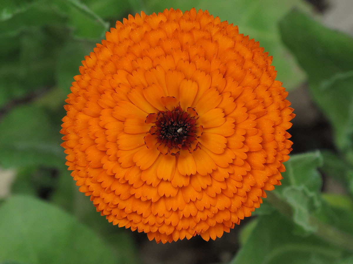 Calendula officinalis 11