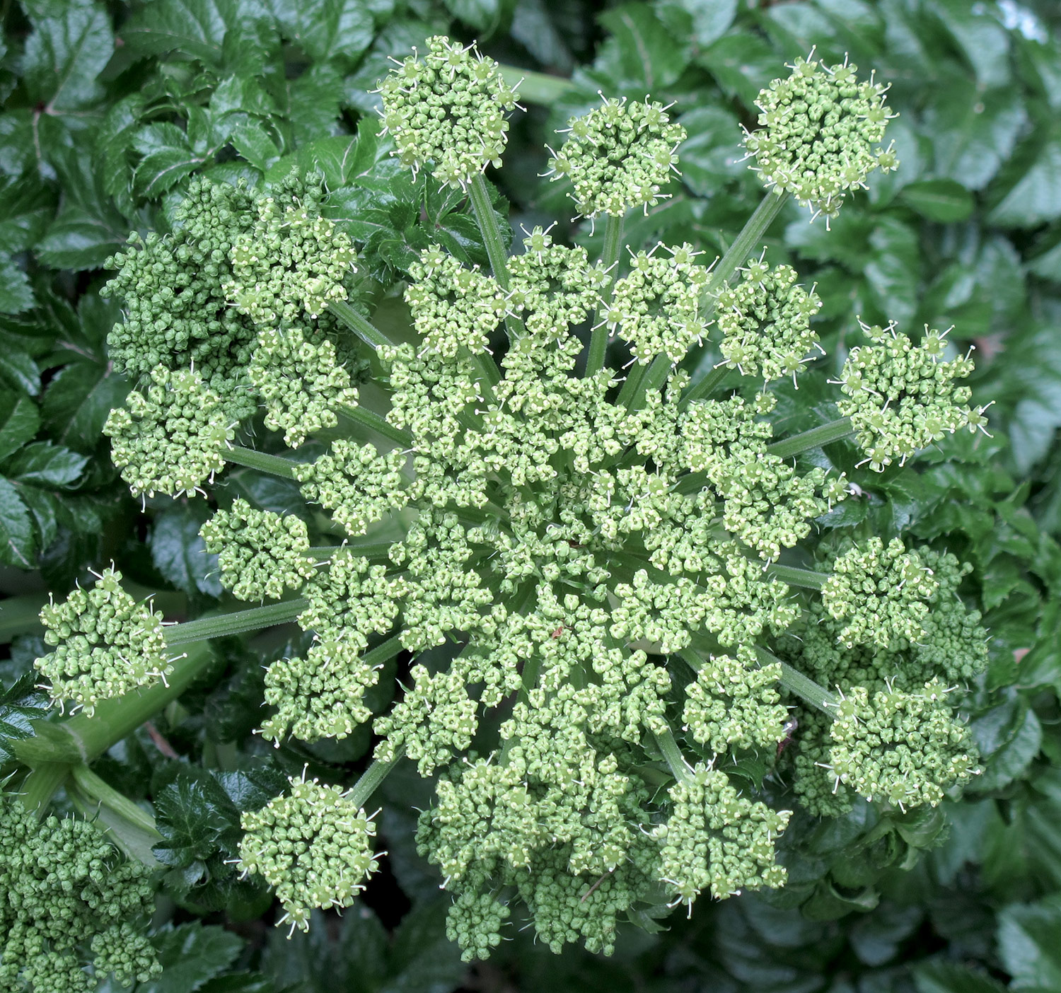Angelica-pachycarpa-11-