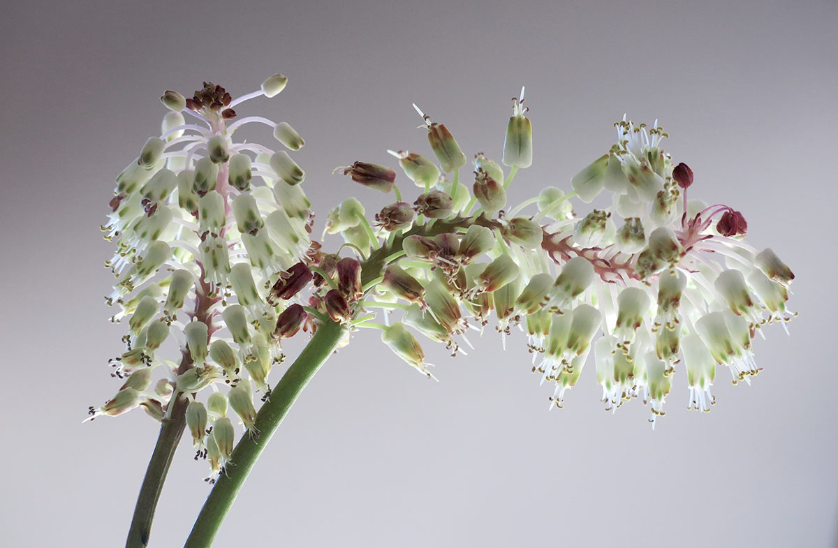 Lachenalia montana 18