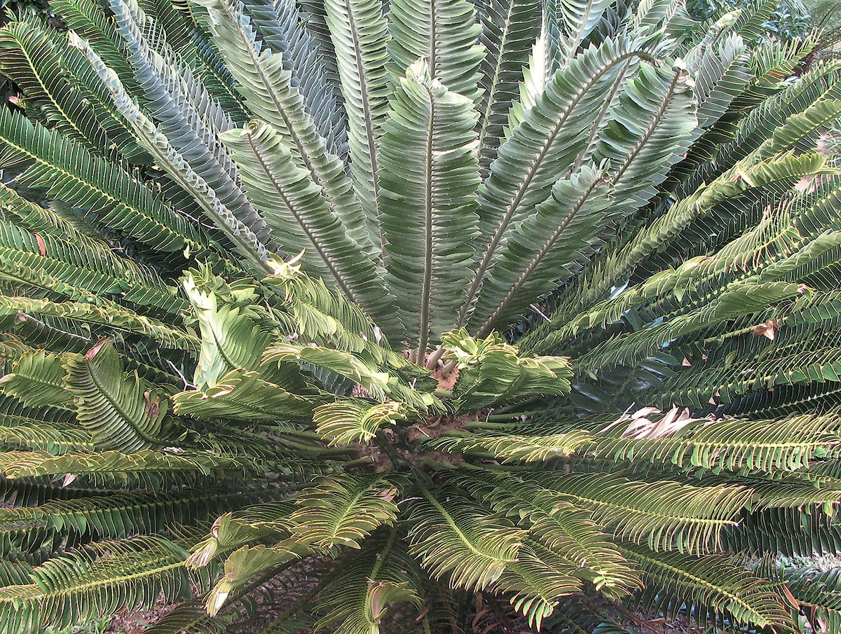 Encephalartos transvenosus 10