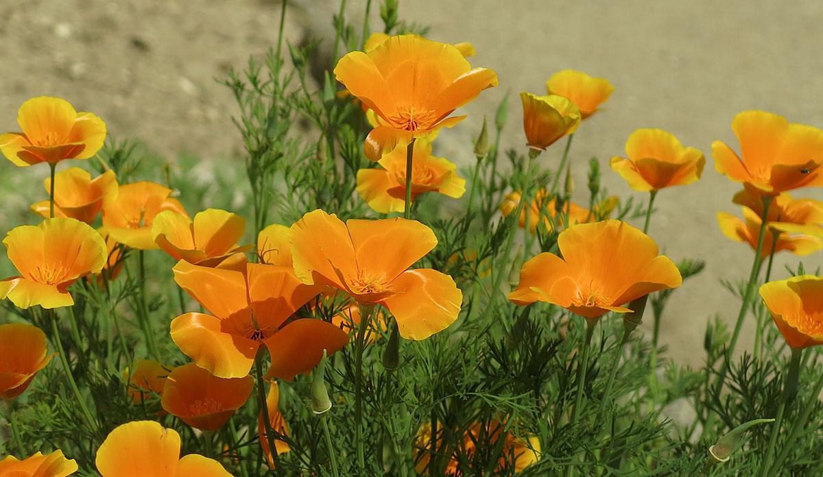 Eschscholzia californica 10
