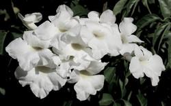 Pandorea jasminoides Alba 8