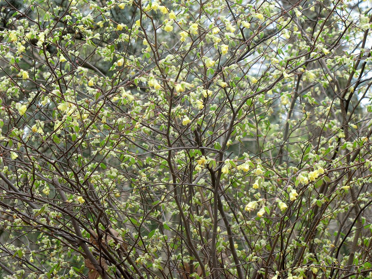 Corylopsis pauciflora 9