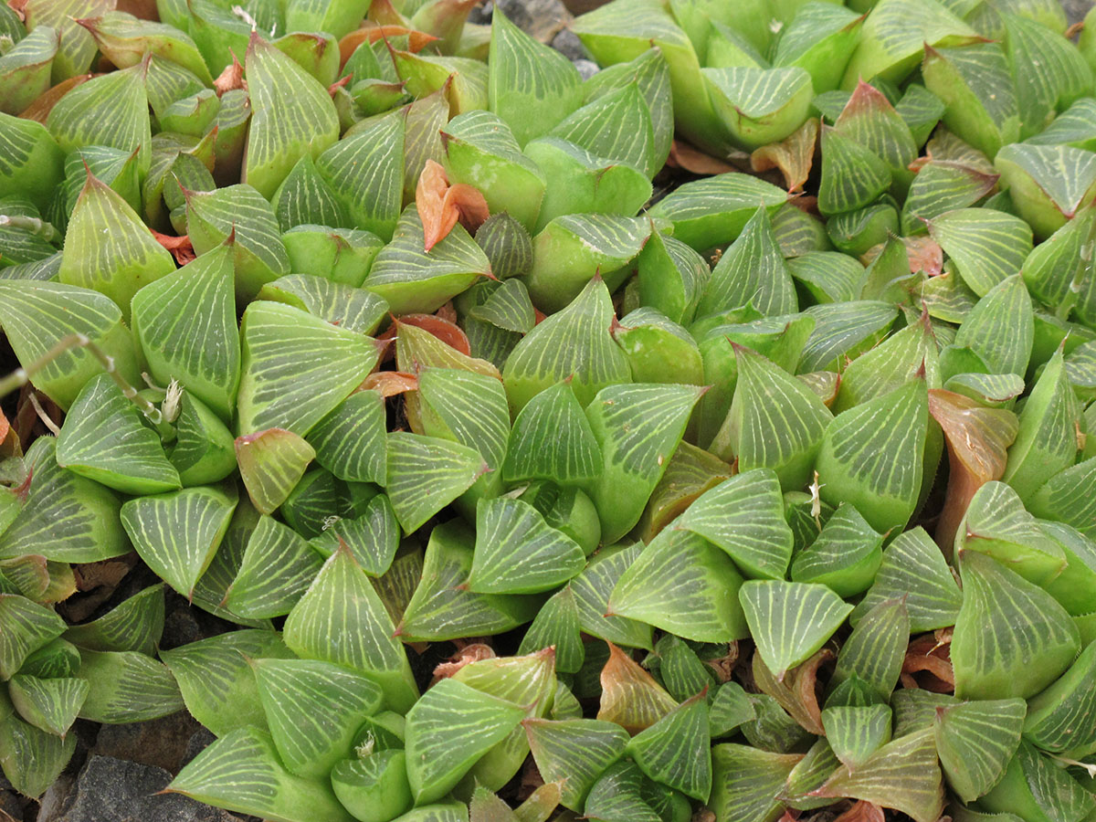 Haworthia retusa 4
