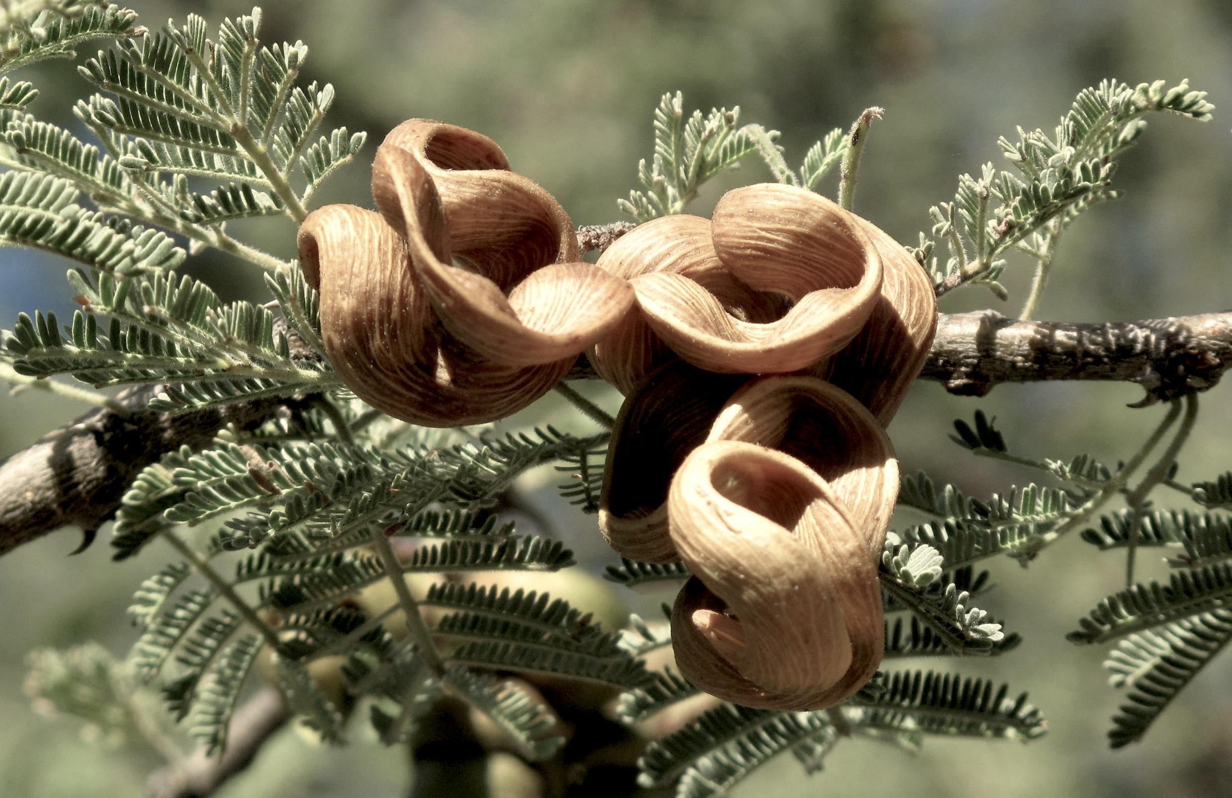 Acacia tortillis heteracantha 71
