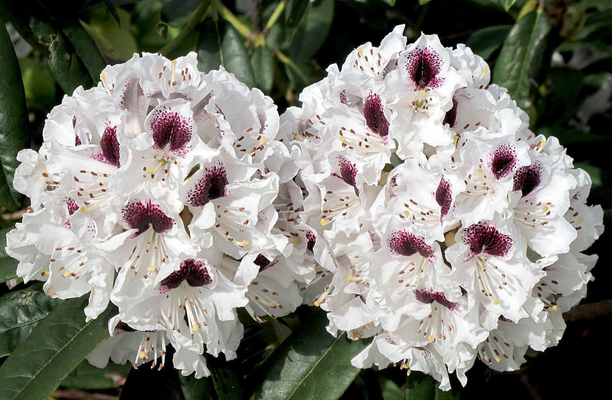 Rhododendron Sappho 4