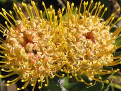 Leucospermum cuneiforme 3