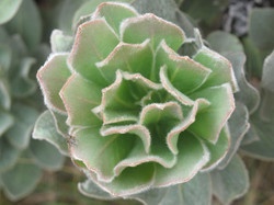 Protea roupelliae 6
