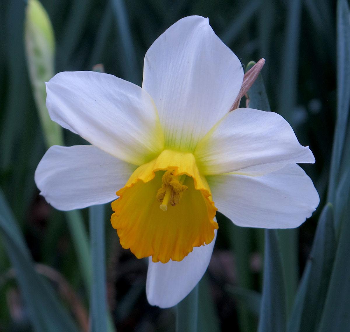 Narcissus Mrs. Ernst Krelag 1