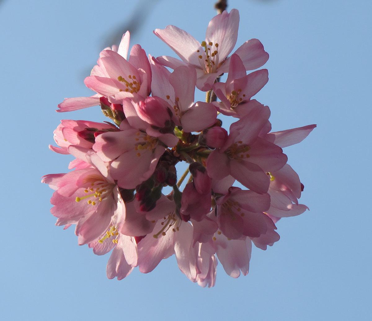 Prunus X subhirtella Pendula 10