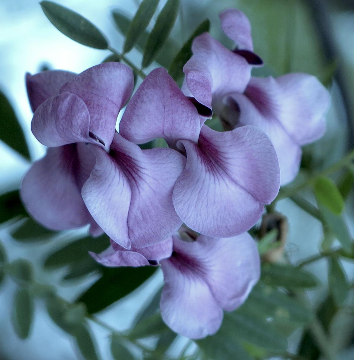 Virgilia oroboides 72