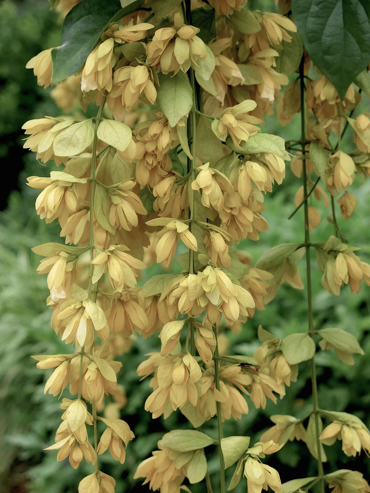 Petraeovitex bambusetorum 20