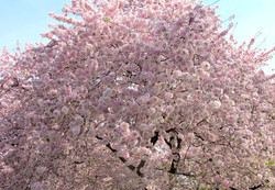 Prunus Yoshino Cherry 7