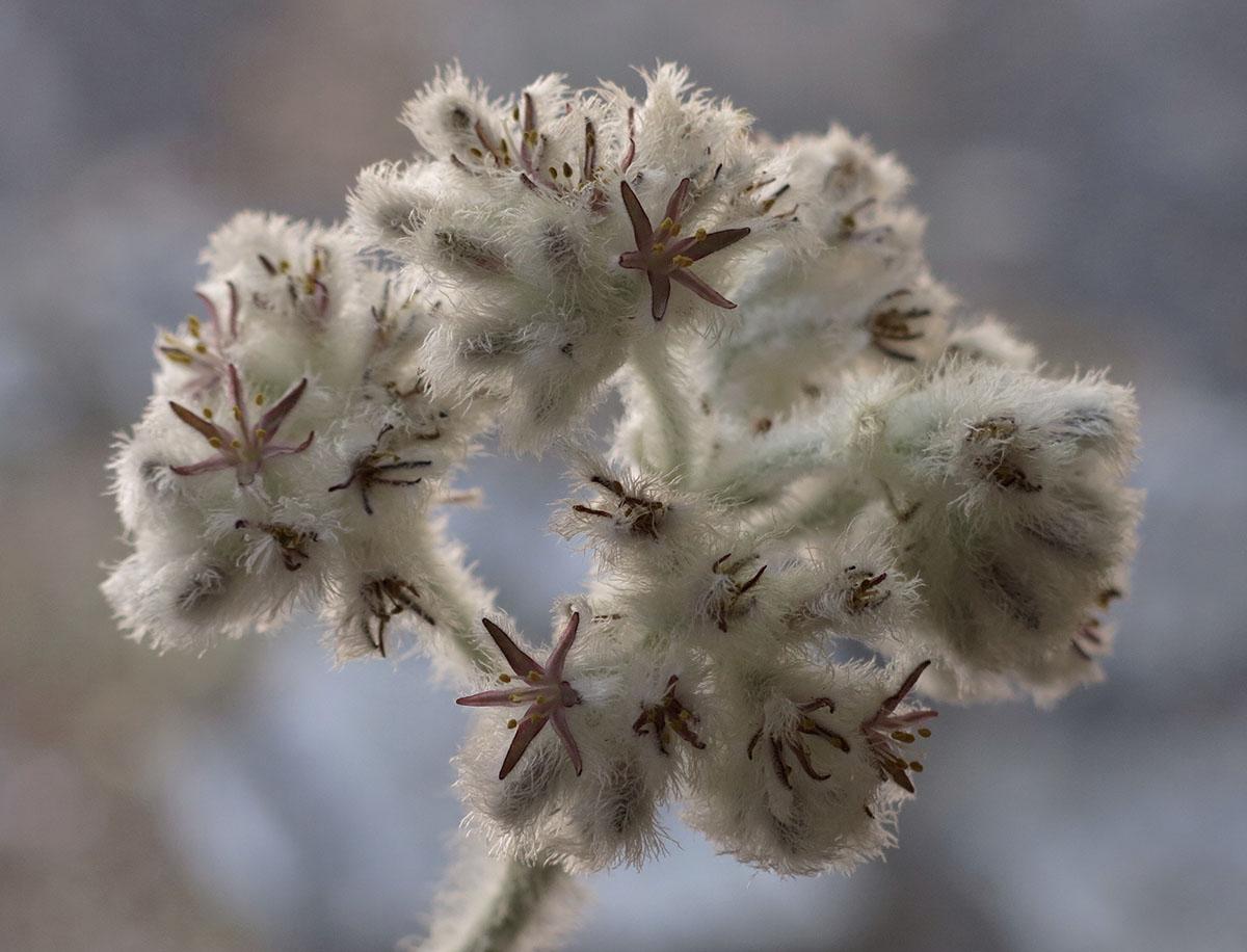 Lanaria lanata 24