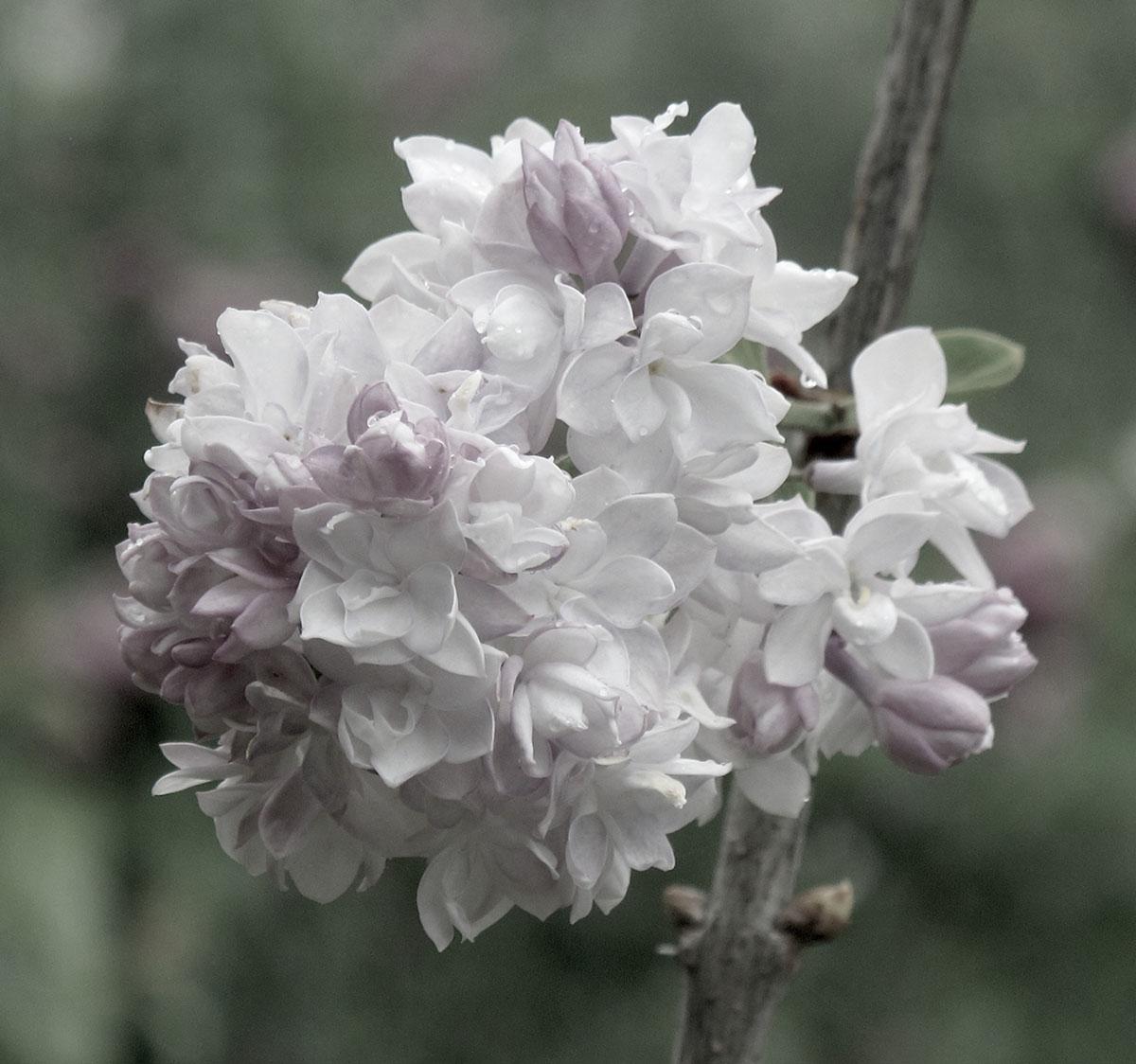 Syringa vulgaris Carmen 2