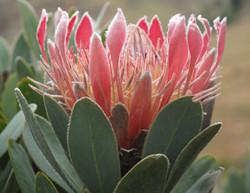 Protea roupelliae 12