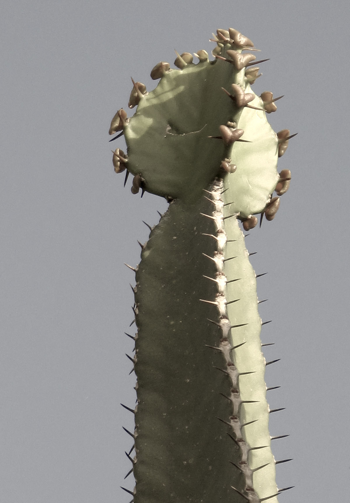 Euphorbia pentagona 5