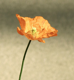 Papaver californicum 7