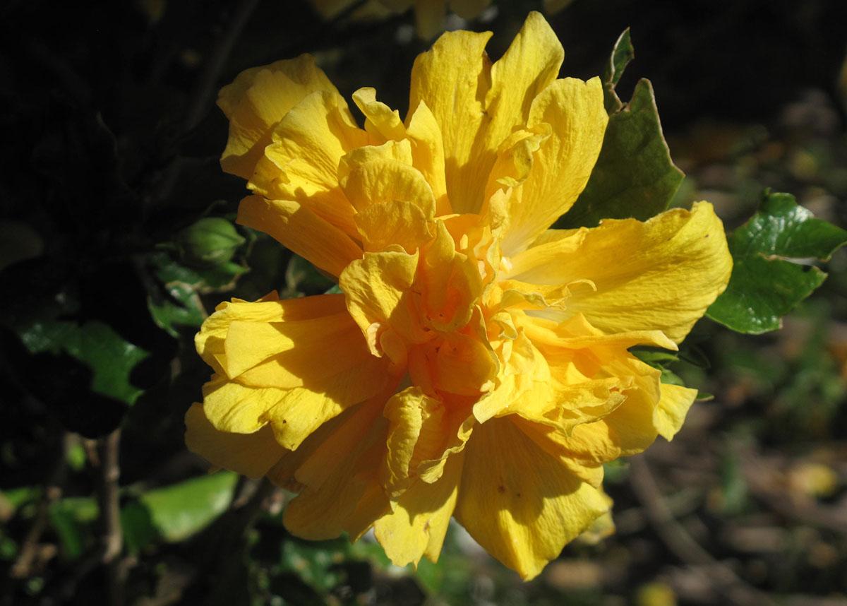 Hibiscus rosa-sinensis 61