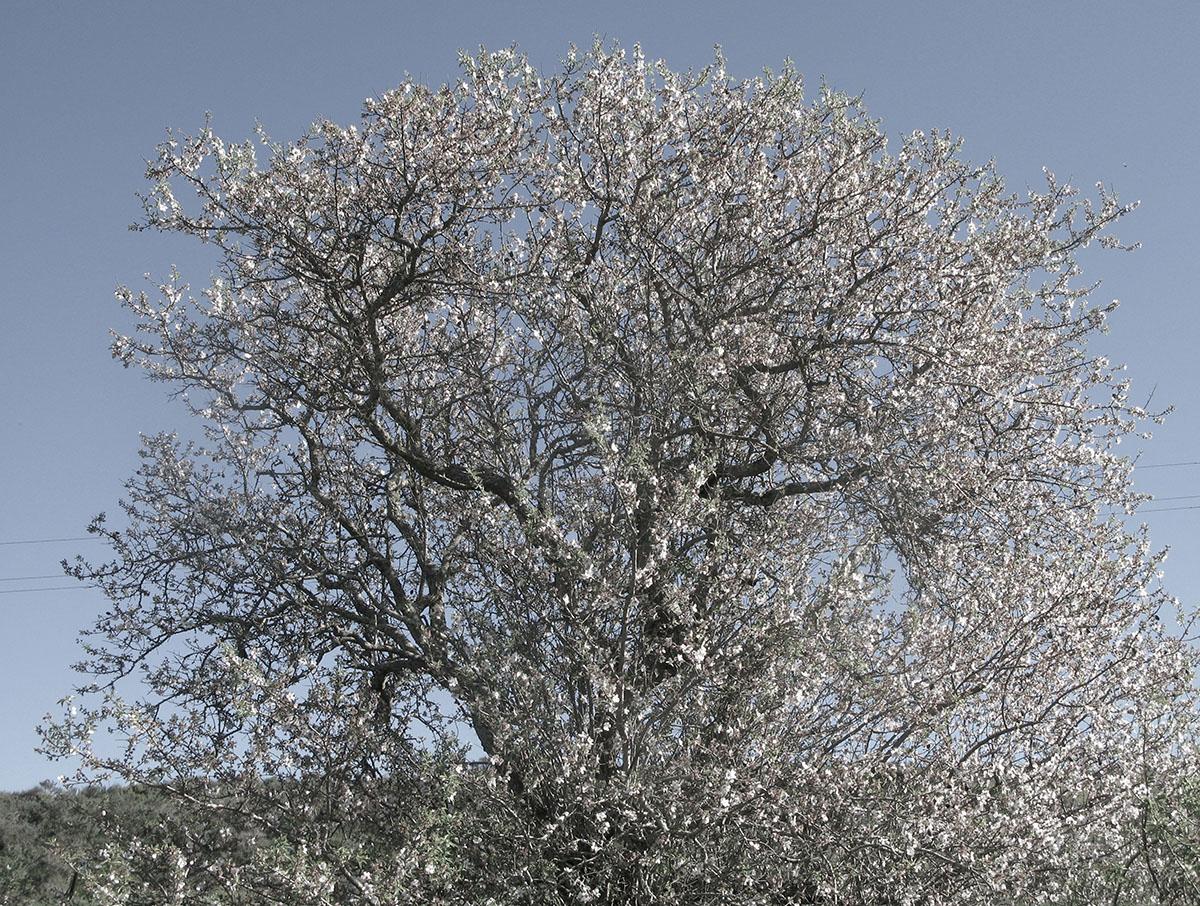 Prunus dulcis 12
