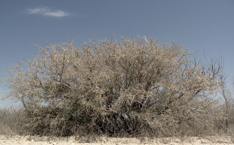 Acacia-erubescens-16-