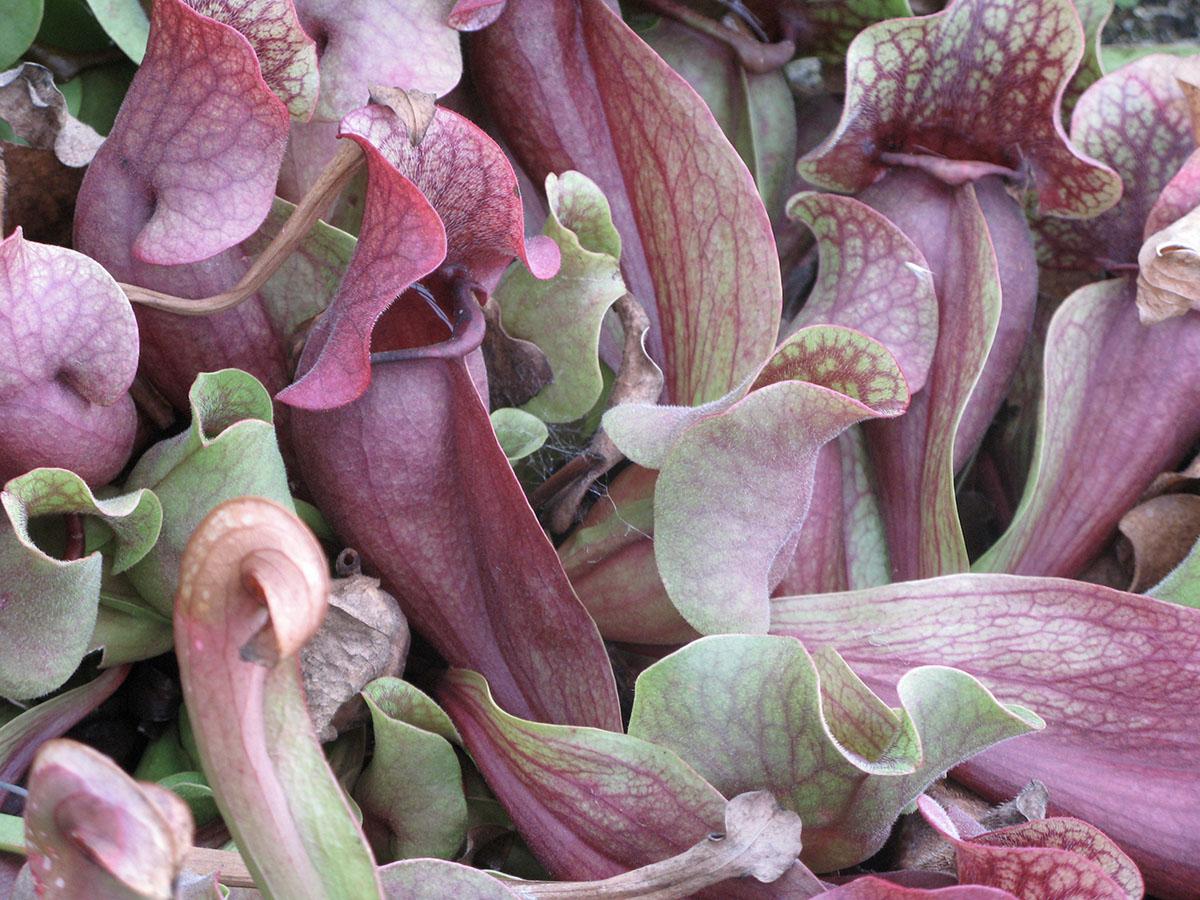 Sarracenia purpurea 16