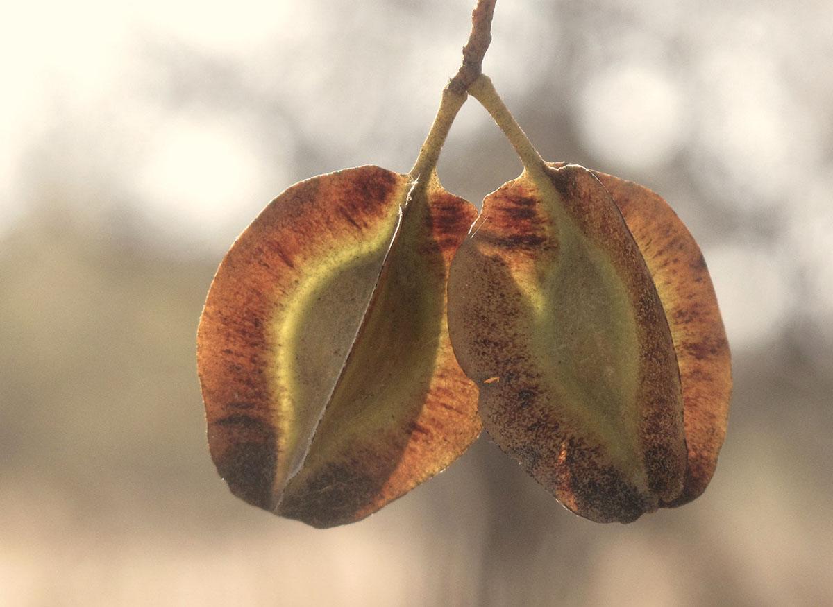 Combretum apiculatum 75