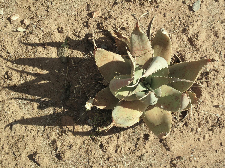 Aloe-globuligemma-15-