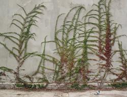 Parthenocissus tricuspidata veitchii 8