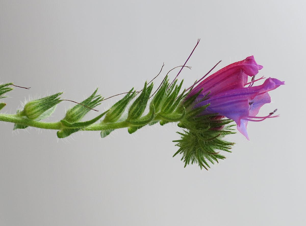 Echium vulgare 48