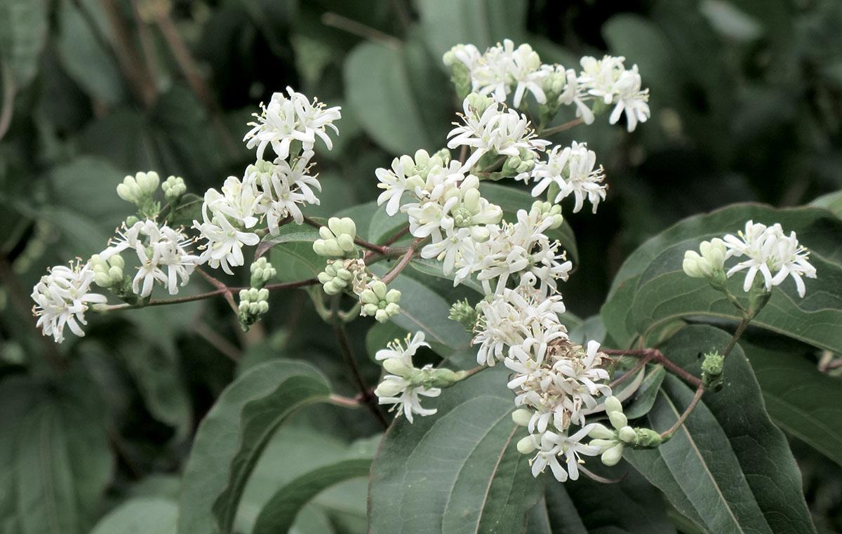Heptacodium miconiodes 15