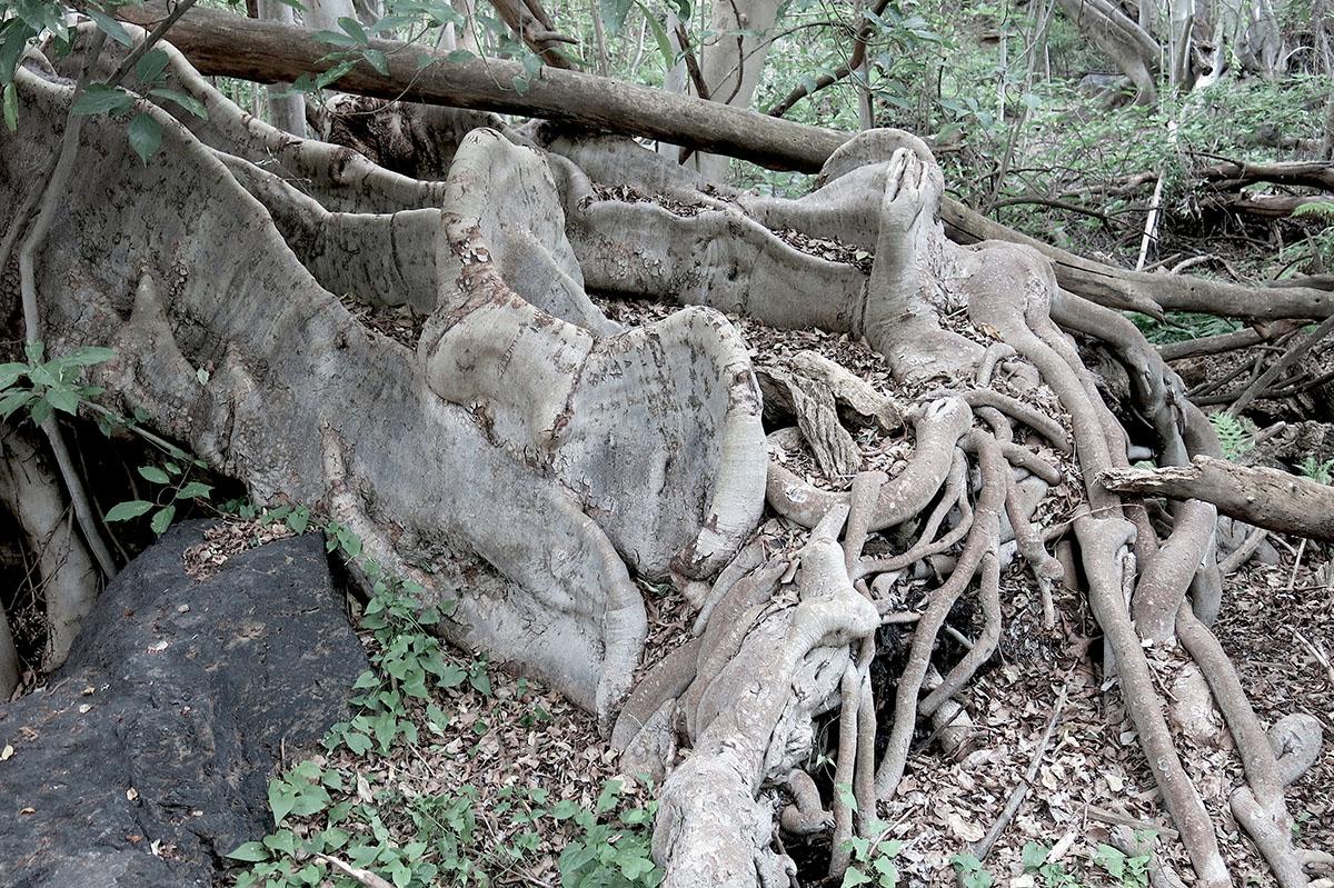 Ficus sur 78