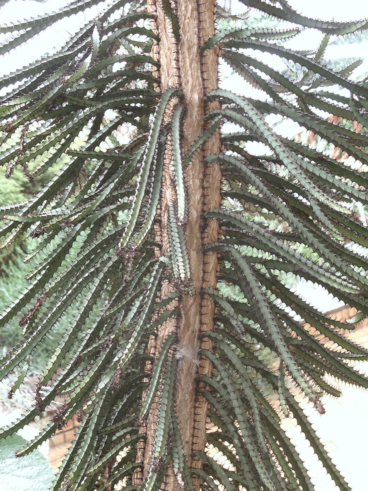 Euphorbia sekukuniensis 4