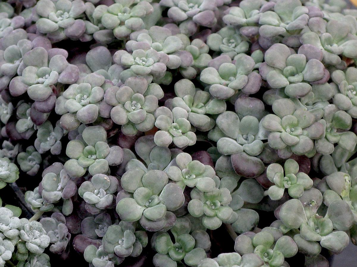 Sedum spathulifolium 4