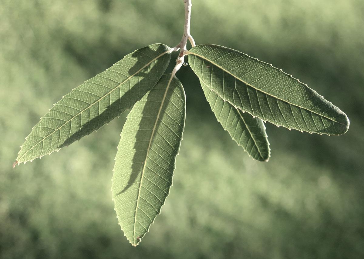 Quercus incana 15