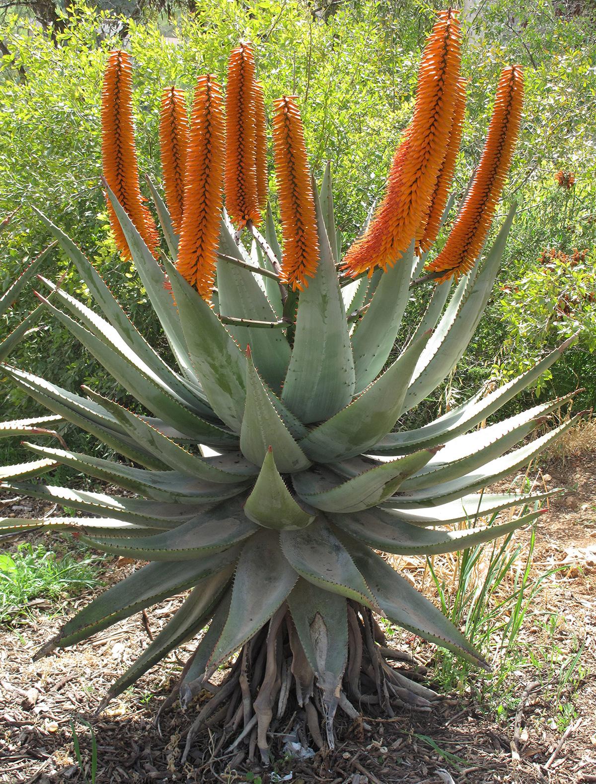Aloe-ferox-80-