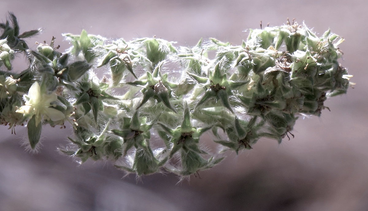 Leucosidae sericea 58