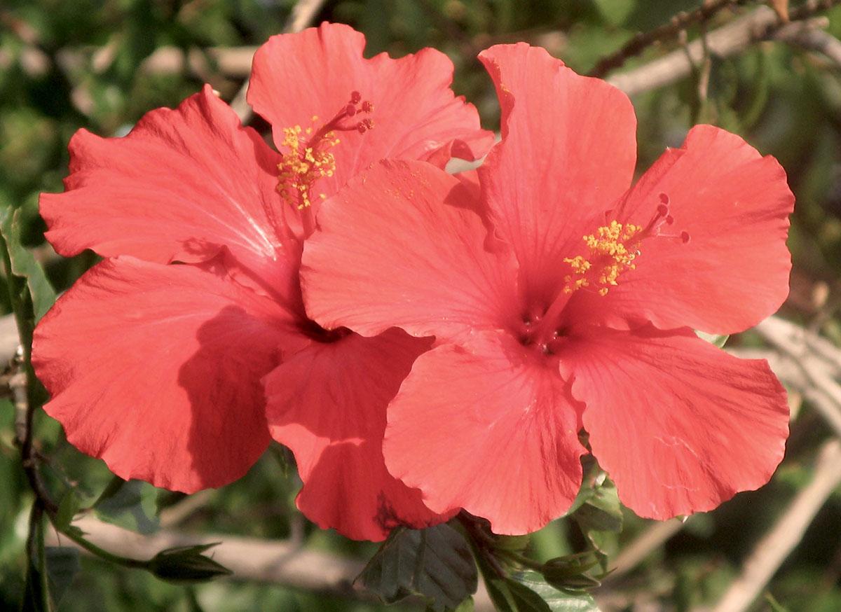Hibiscus rosa sinensisq1