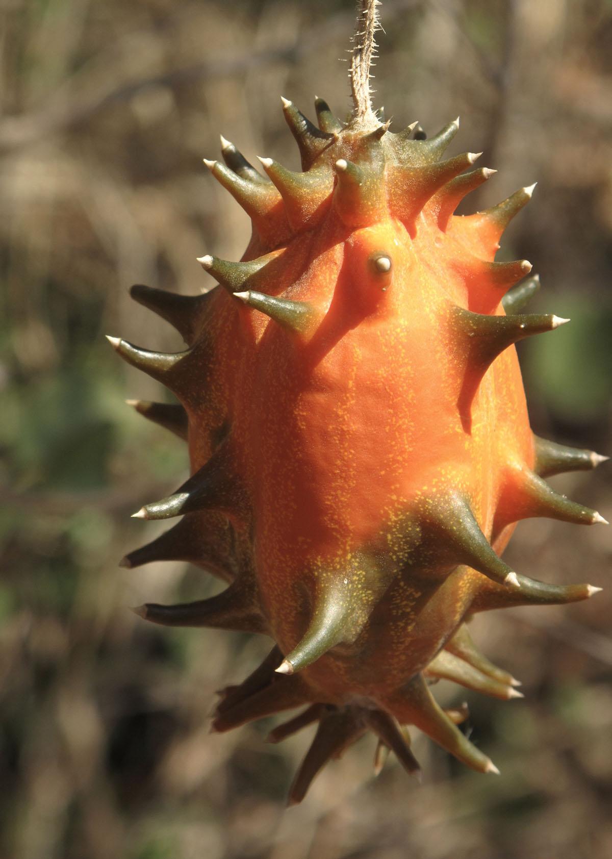 Cucumis metuliferus 14