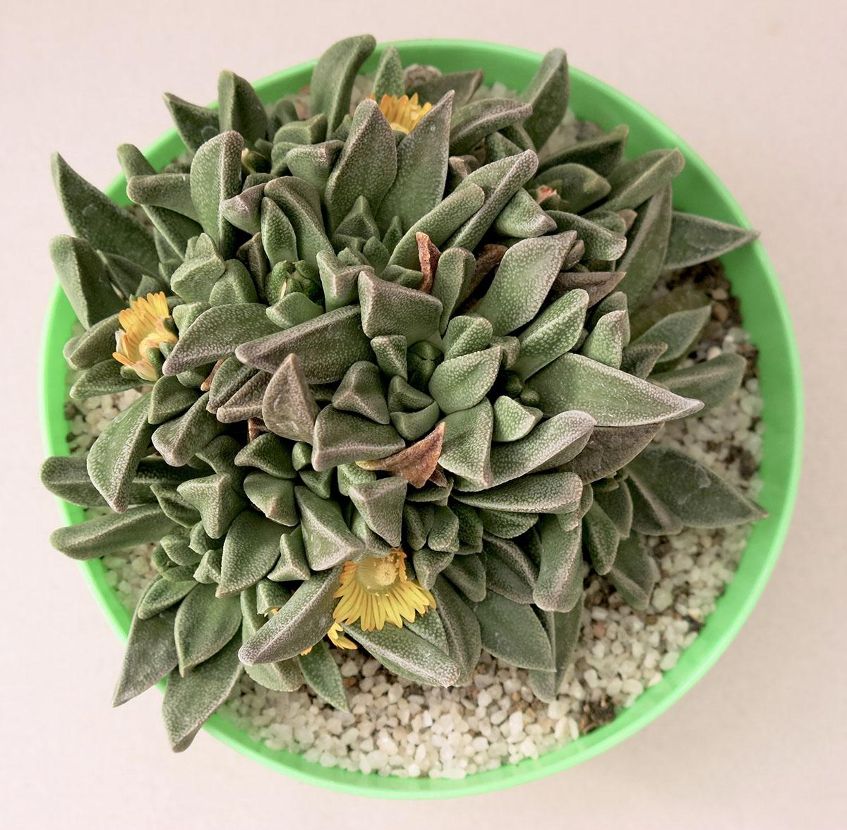 Nananthus aloides 10