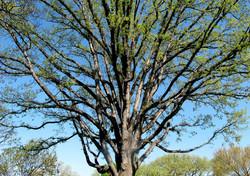 Quercus alba 10